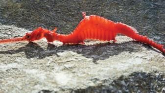 ВИДЕО. Снимен реткиот морски змеј