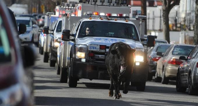 Њујоршката полиција ловела бик низ улиците на Квинс
