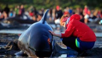 Нови 240 китови се насукаа на плажа во Нов Зеланд