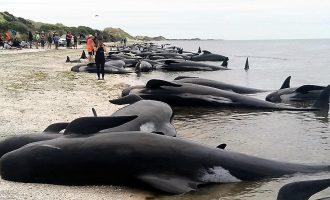 Над 200 од насуканите китови на новозеландската плажа спасени со плимата