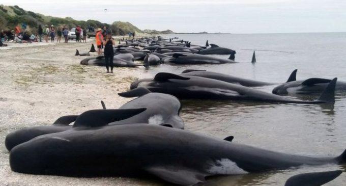 Нов Зеланд во трка со времето за спас на стотици китови