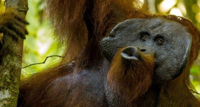 Звуците на орангутаните го расветлија развојот на човековото комуницирање