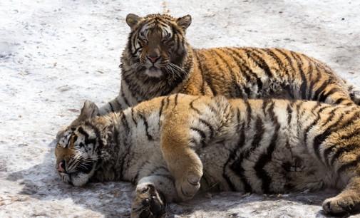 """Амурските тигри го """"ликвидираа"""" дронот што ги следеше  (ВИДЕО)"""