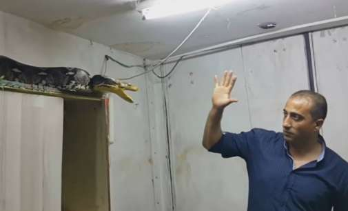 Со голи раце фатил избеган питон (видео)