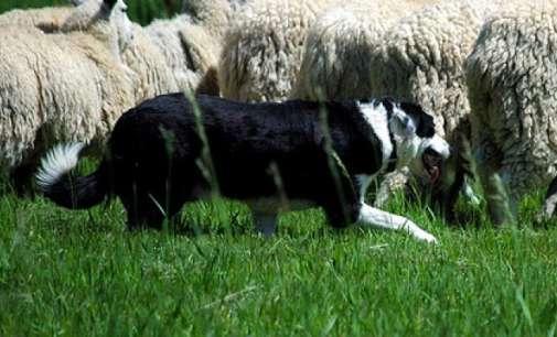 Кучињата што усмртија 4-годишно дете не биле вакцинирани