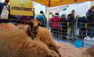 Италијанските одгледувачи ги доведоа овците во центарот на Рим