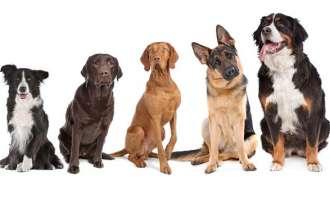 Одбрани се најпаметните раси на кучиња