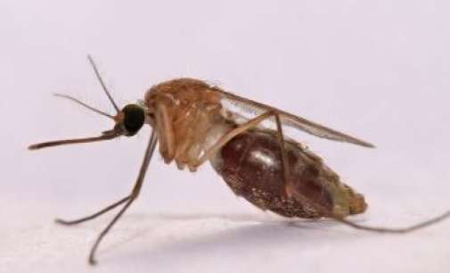 Што ќе се случи ако ги уништиме сите комарци?