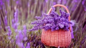 Мирисот на лаванда ги смирува стресот и несоницата