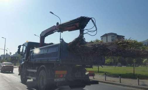 Исушените палми ќе се заменуваат со јавори