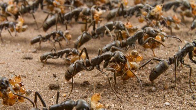 Мравките ги спасуваат ранетите 'соборци'