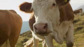 Американците мислат дека кафените крави даваат чоколадно млеко