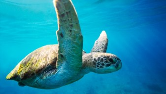 Тајланд: Во чест на кралот во морето пуштени 1.066 желки