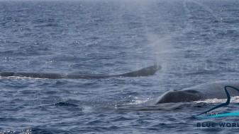 (ВИДЕО) Во Јадранското Море забележани два големи кита