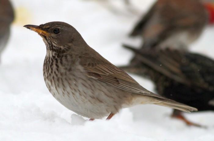 Птица стара илјадници години пронајдена во мраз во Норвешка