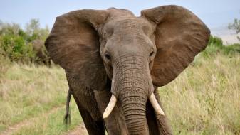 Слон уби ловџија