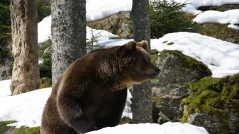 Ловец од Сибир тврди дека мечка му украла две пушки