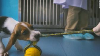 Кинески научници клонираа куче во обид да се третираат кардиоваскуларните болести