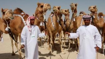 Поради ботокс 12 камили се елиминирани на натпревар за убавина во Ријад
