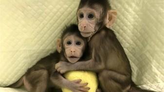 (Видео) Кинезите за првпат клонираа мајмуни, отстранета пречката за клонирање луѓе