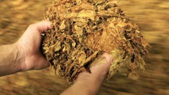 МЗШВ: Расте откупната цена на тутунот