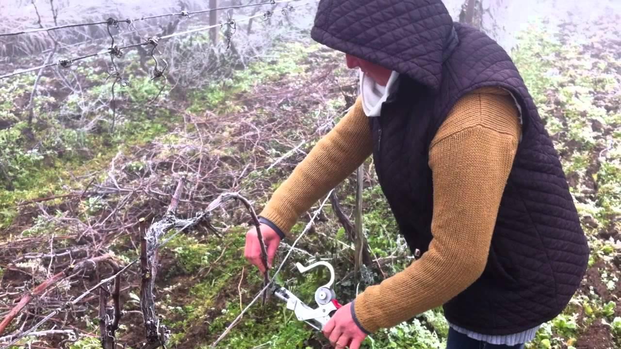 Заев на традиционално закројување на лозјата во Тиквешкиот крај
