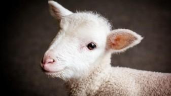 Научниците направиле хибрид меѓу човек и овца