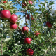 Египетски компании заинтересирани за увоз на македонско јаболко