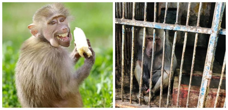 Поради ужасните услови за живеење во Битола, Лука се враќа во Скопската зоолошка градина